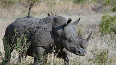 Botswana raises alarm over increased rhino poaching