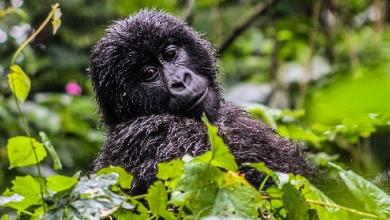 "More mountain gorillas in Congo and Uganda: ""save endangered species"""