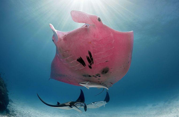 Photographer captures unique pink giant manta on camera