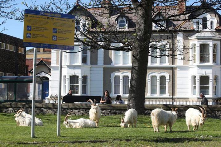 The animals stay in a park in Llandudno, among other places.