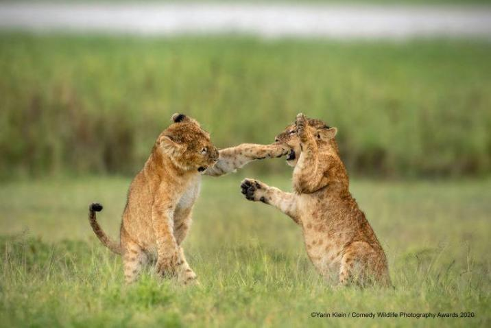 Does this lion cub have anything in between in Tanzania? Then help from his boyfriend is more than welcome.