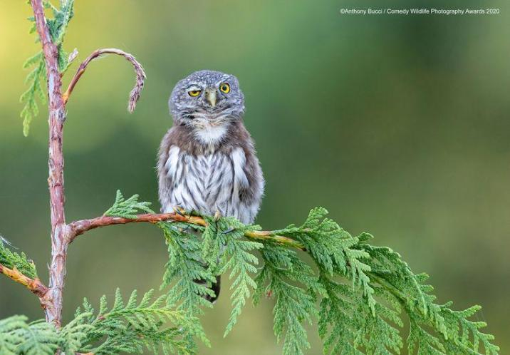 Anthony Bucci This northern  pygmy owl on Vancouver Island (Canada) has had a rough night, funniest animal pictures of the year