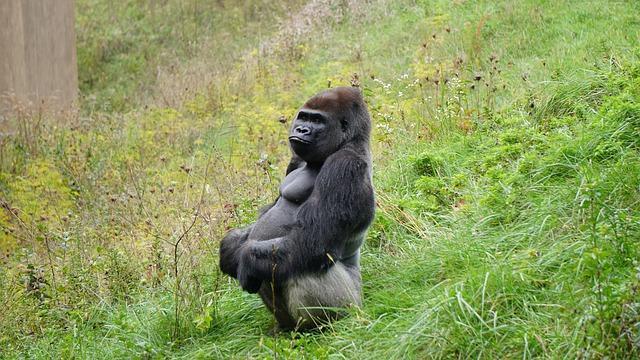 Life imprisonment for killing 25-year-old rare silverback gorilla