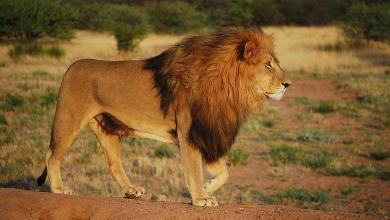 Over 12,000 captive-bred lions are killed in South Africa every year
