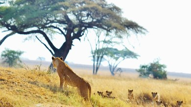 Three worst man-eaters in African: worst lion attack in history