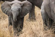 Number of elephants in Kenya has doubled in 30 years