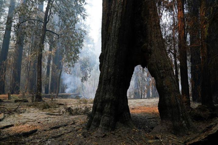 2000-year-old trees survived severe wildfire in California