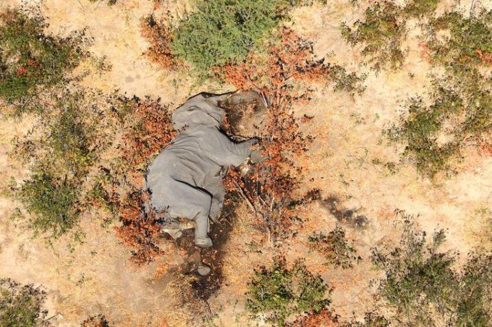 Mystery Solved: Blue-green-algae caused massive elephant deaths in Botswana