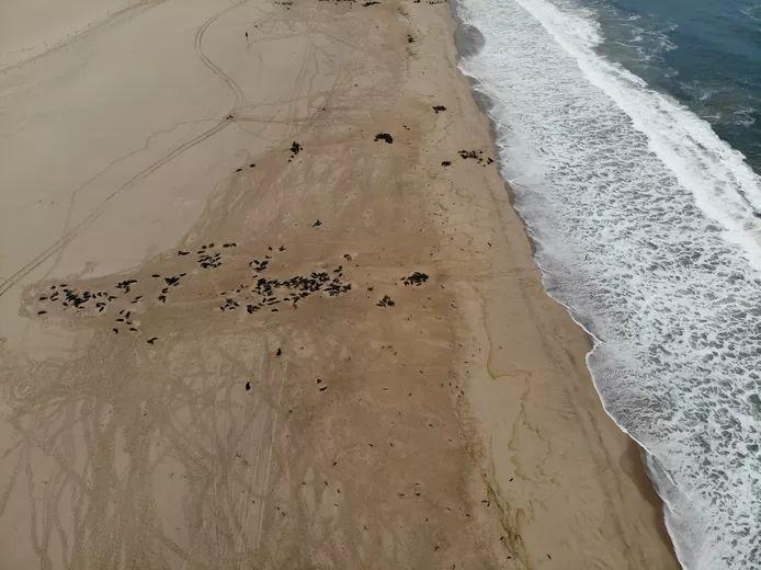 Dead seals strewn over the beach near Pelican Point