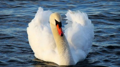 Swan that lost its partner stops 23 trains in Germany for an hour