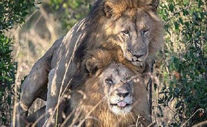 """Lions """"learn how to be gay""""."""
