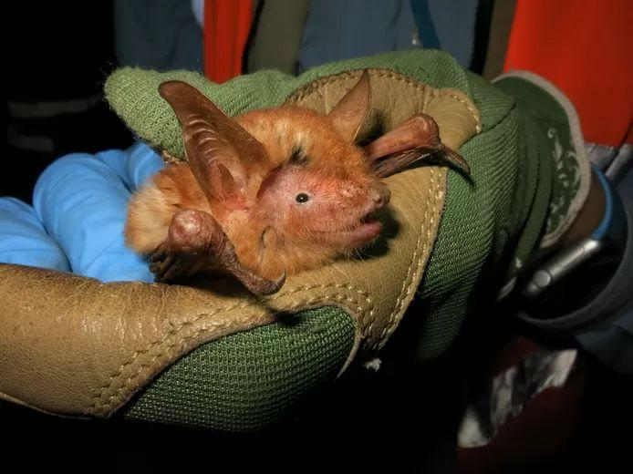 Scientists discover 'orange' bat in West Africa