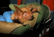 Scientists discover 'orange' bat in West Africa