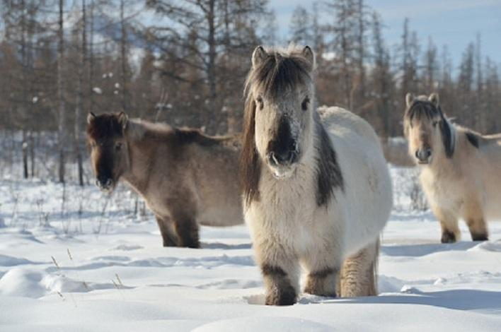 The Yakutian horse Yakut is a rare native horse breed from the Siberian Sakha Republic
