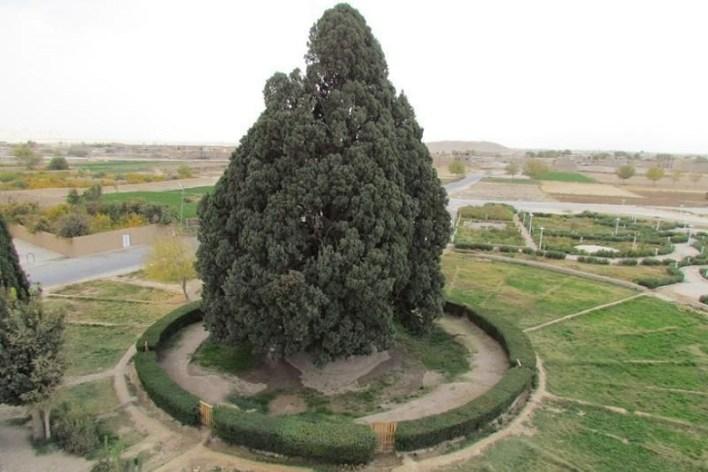 Sarv–e Abarkuh: Abarkuh, Yazd Iran
