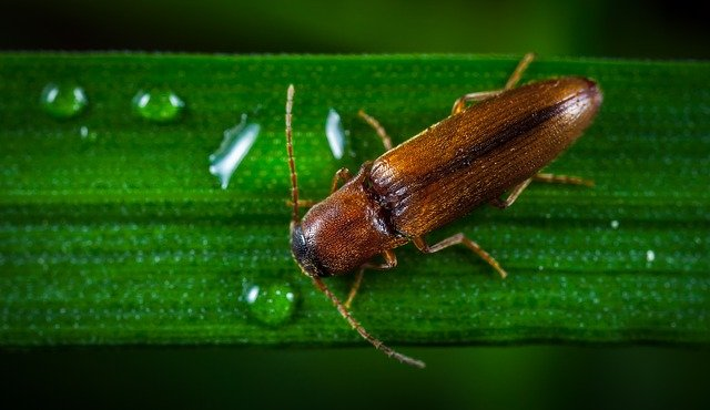 Jumping or click beetle