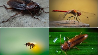 Top 5 fastest flying insect in the world
