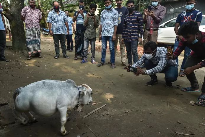 In Bangladesh, thousands of people flock to a farm in Charigram every day to visit the dwarf cow, Rani.