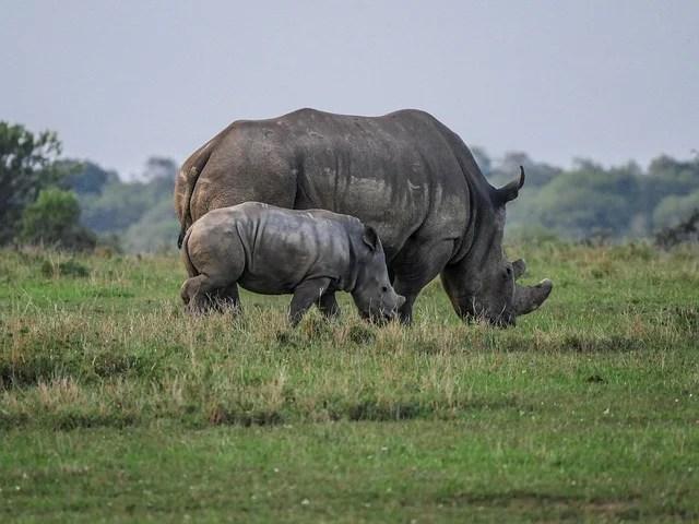 Rhino poaching in South Africa resumes after coronavirus respite