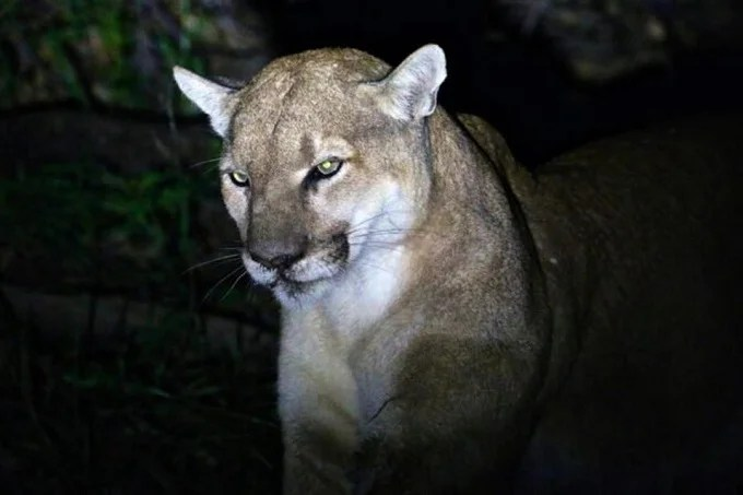 US mother fights Mountain lion who drags her son (5)