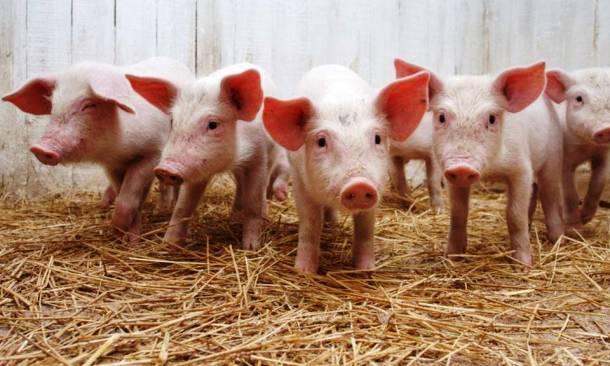 Les cochons 20 des animaux les plus intelligents au monde