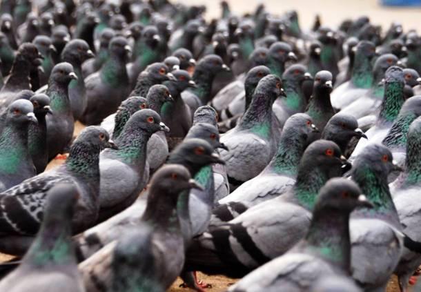 Les pigeons 20 des animaux les plus intelligents au monde