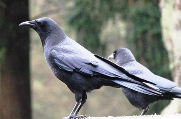 Les corbeaux 20 des animaux les plus intelligents au monde