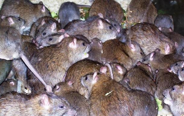 Les rats 20 des animaux les plus intelligents au monde