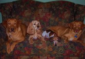 Christmas 2008 photo. Gin & Chass are bigger, but Bella still rules the roost. At least in her own mind!
