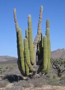 Cardon Grande Mexican Giant Cactus