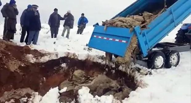 (+فيديو عملية الدفن):البرد يتسبب في نفوق حوالي 152 رأس من الماشية