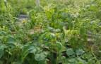 فيروس خطير يدعى نيودلهي يهدد  المحاصيل الزراعية بأكادير و تارودانت، وينذر بأزمة حادة لدى فلاحي المنطقة.