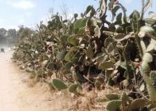 """"""" الحشرة القرمزية """" تجد لها موطنا للاختباء قرب مصالح حماية النباتات بأكادير.(+صور)"""