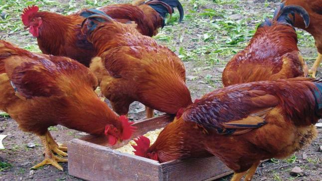 فيدرالية مهنيي الدجاج: لحوم الدواجن المعروضة في الأسواق سليمة