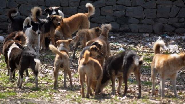 """التامري : كلاب ضالة تهاجم المواطنين ب""""أفرني"""" والمجلس الجماعي في سبات عميق"""