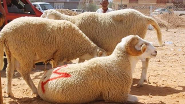 وزارة الفلاحة: العرض من القطيع يتجاوز الطلب الخاص بعيد الأضحى ورقم المعاملات سيبلغ 12 مليار درهم
