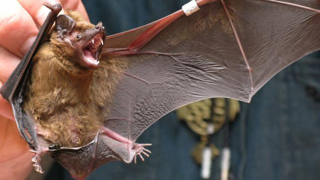 اكتشاف فيروس جديد شبيه بكورونا لدى الخفافيش