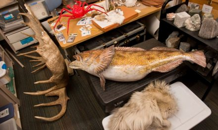 ATG Quirkies: Only in Alaska: Whale Vertebrae and Beaver Pelts for Check Out at the Library!