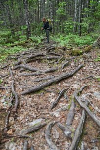 The spaghetti-like roots that we tripped over for hundreds of miles in Maine.