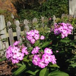 Phlox blooming like it was spring.