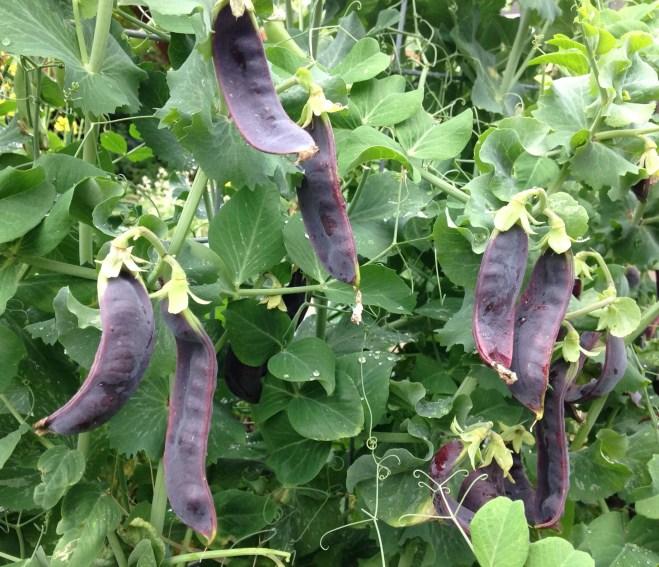 Beauregarde peas on the vine
