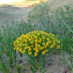 Dune-flower-2-big