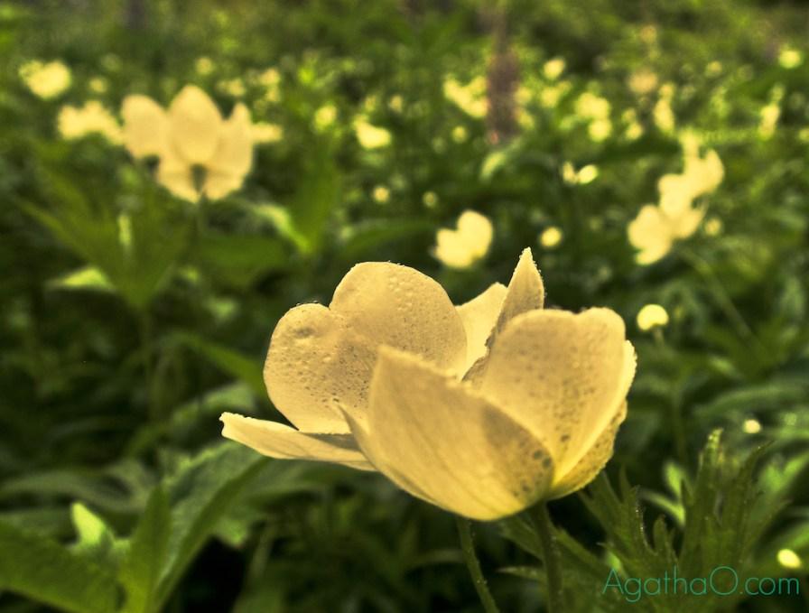 Anemones are ranunculus, too
