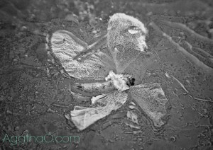 Black and white flower in ice nature art photography from AgathaO.com