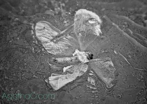Black and white flower in ice nature art photography from Agatha.com