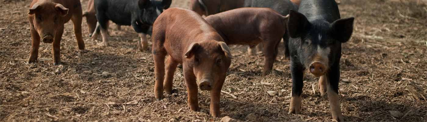 A group of brown and black pigs on a farm