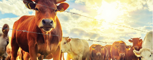 image of cows next to a fence