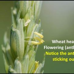 Stage Directions Diagram Switch Light Wiring Wheat Flowering Growth | Agronomic Crops Network