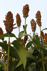 Sorghum Cost Advantage