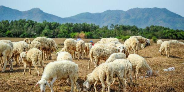 La colline de moutons Suoi Nghe Vung Tau